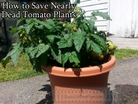 How to Save Nearly Dead Tomato Plants @DwellSmart @TerraCycle