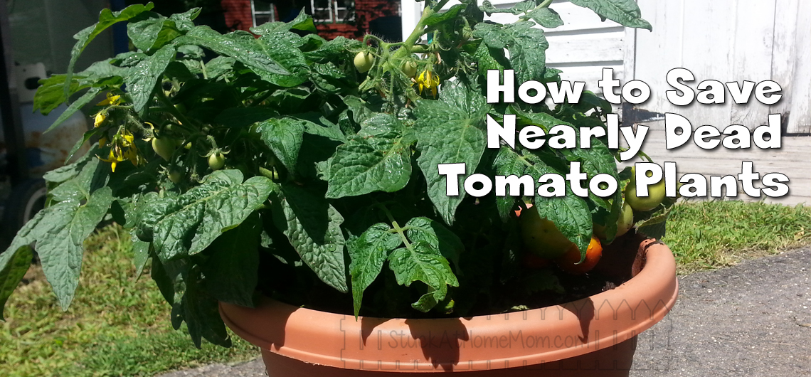 How to Save Nearly Dead Tomato Plants