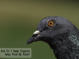 How Do I Keep Pigeons Away From My Farm?